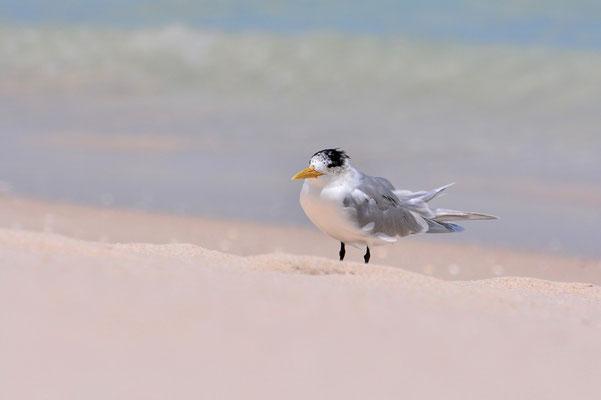 Australien, Australia, Westaustralia, Western Australia, Landschaft, Vogel, Grau, Sand, Crested Tern