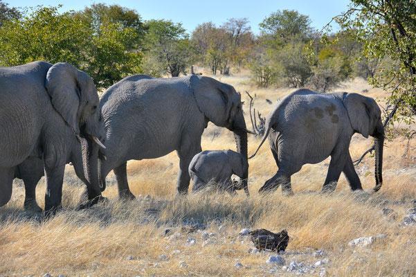 Namibia - Rundfahrt - Reise - Rundreise - Etosha National Park - Elefant
