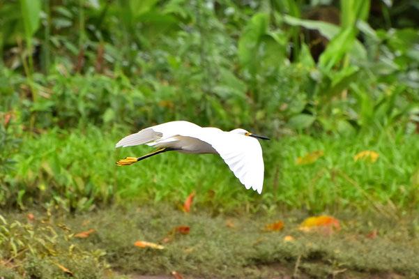 Pura Vida - Costa Rica - Fauna - Vogel - Fliegen