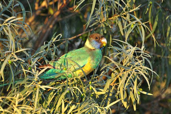 Australia - Australien -Zentralaustralien - Outback - Northern Territory - Landschaft - Vogel - Grün - Papagai - Red Rumped Parrot