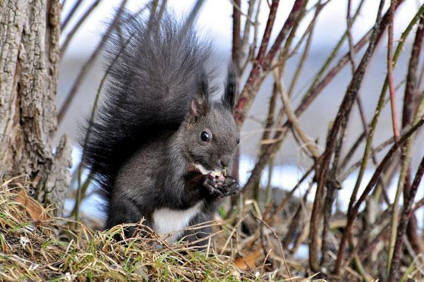 Foto - Eichhörnchen -schwarz - fressen - im Busch