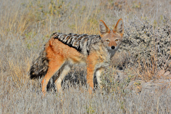 Namibia - Rundfahrt - Reise - Rundreise - Etosha National Park - Scharbrackenschakal