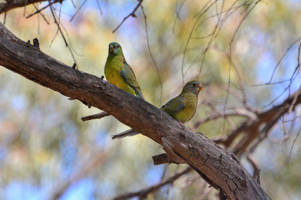 Australien, Australia, Südaustralien, South Australia, Landschaft, Vögel, Bunt, Papageie