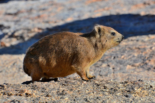 Namibia - Rundfahrt - Reise - Rundreise - Landschaft - Fish River Canyon - Klippschliefer