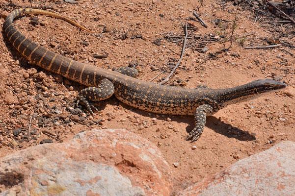 Australien, Australia, Südaustralien, South Australia, Landschaft, Australian Goanna - Lace Monitor, Lizard