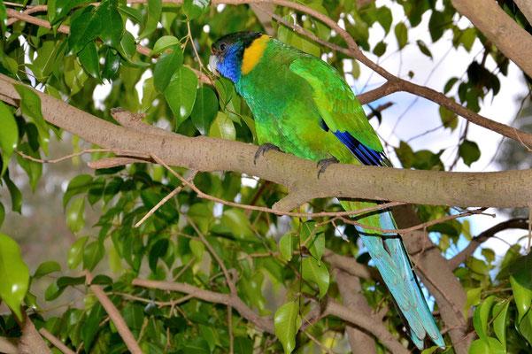 Australien, Australia, Westaustralia, Western Australia, Landschaft, Papagei