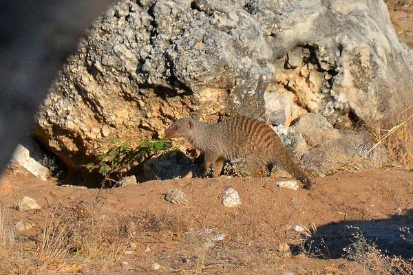 Namibia - Rundfahrt - Reise - Rundreise - Etosha National Park - Zebramanguste