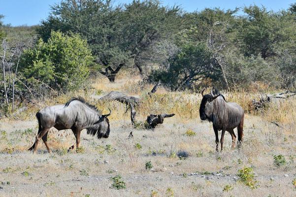 Namibia - Rundfahrt - Reise - Rundreise - Etosha National Park - Streifengnu