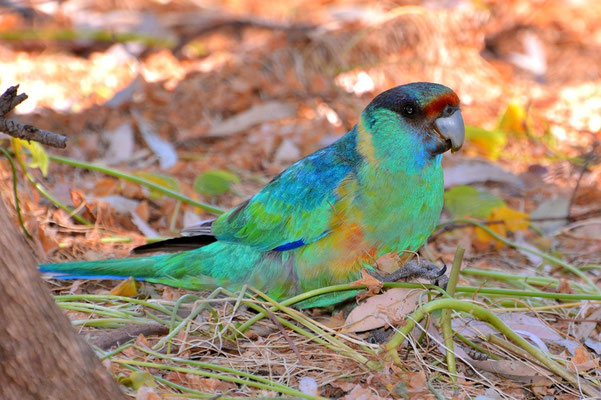 Australien, Australia, Südaustralien, South Australia, Landschaft, Vogel, Papagei, Australian Ringneck