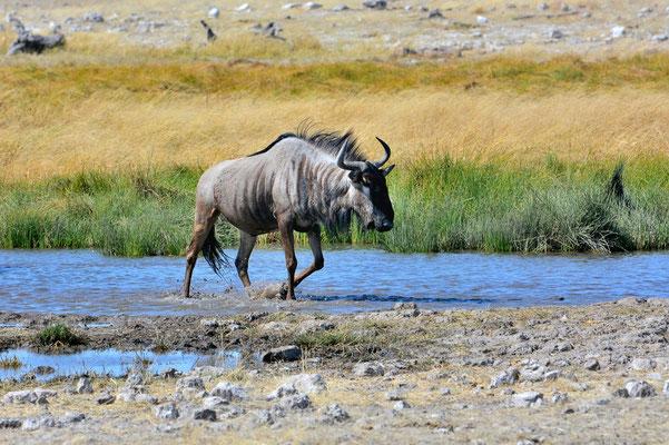 Namibia - Rundfahrt - Reise - Rundreise - Etosha National Park - Gnu