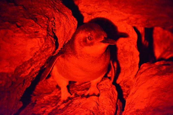 Australien, Australia, South Australia, Kangaroo Island, Landschaft, Vogel, Blaue Pinguine, Blue Penguin