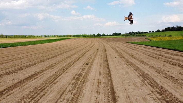Vogelperspektive, Drohnenfoto, Drohnenbild, Luftaufnahme, Bayern, Feld, Grün, Braun, Streifen, Sommer, Vogel, Greifvogel, Fliegen