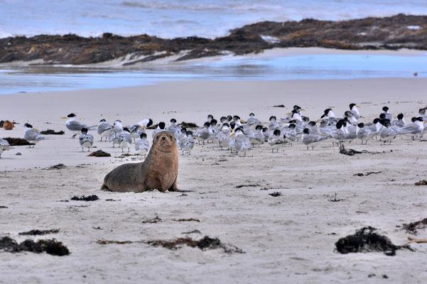Australien, Australia, South Australia, Kangaroo Island, Landschaft, Meer, Küste, Sand, Baby Robbe, Seal Bay
