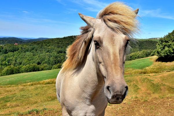 Frankreich, Elsass, Landschaft, Pferd