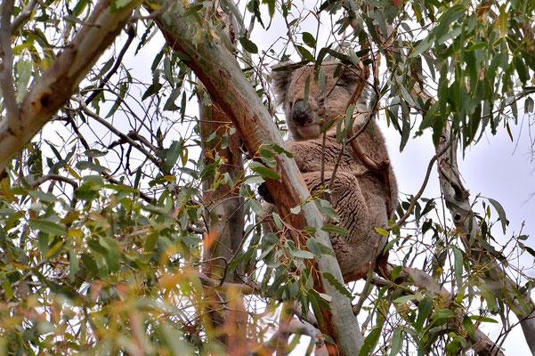Australien, Australia, South Australia, Kangaroo Island, Landschaft, Baum, Eukalyptus, Koala