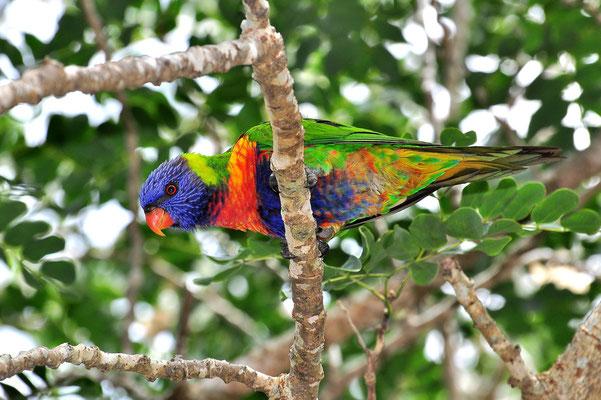 Australien, Australia, Ostaustralien, Ostküste, Queensland, Landschaft, Vogel, Bunt, Regenbogenlori, Loriniiae