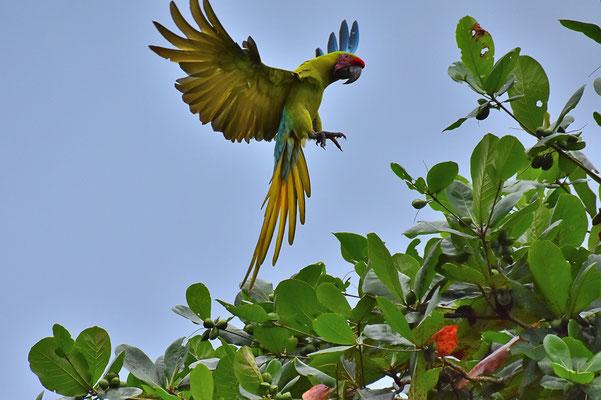 Pura Vida - Costa Rica - Fauna - Grüne Ara