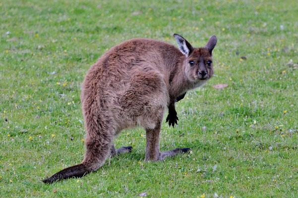 Australien, Australia, South Australia, Kangaroo Island, Landschaft, Känguru, Wallaby