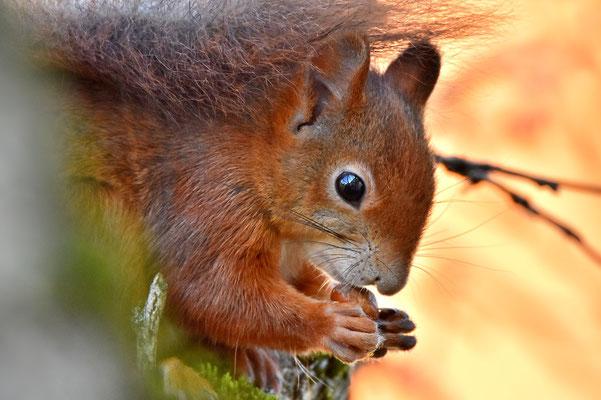 Foto - Eichhörnchen - rot - Nuß - fressen - auf dem Baum