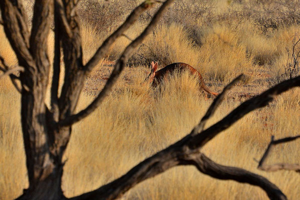 Namibia - Rundfahrt - Reise - Rundreise - Landschaft - Kalahari - Erdferkel