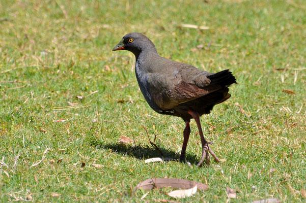 Australien, Australia, Südaustralien, South Australia, Landschaft, Vogel, Black Tailed Native Hen