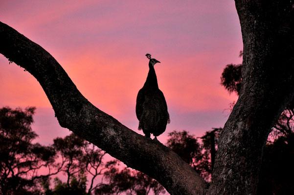 Australien, Australia, Nordaustralien, Northern Territory, Landschaft, Lila, Silhouette, Pfau, Peacock Sonnenuntergang