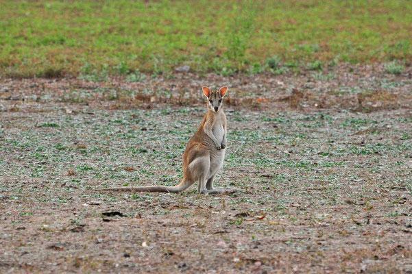 Australien, Australia, Nordaustralien, Northern Territory, Landschaft, Wallaby, Springvale
