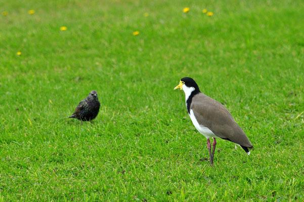Neuseeland, Südinsel, Vögel