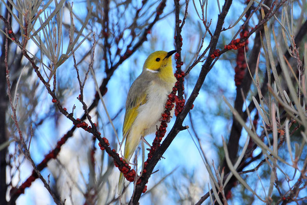 Australia - Australien -Zentralaustralien - Outback - Northern Territory - Landschaft - Vogel - Grau - Gelb