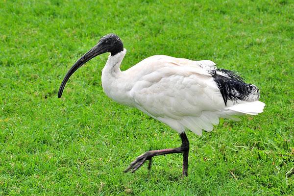 Australien, Australia, Ostaustralien, Ostküste, Queensland, Landschaft, Vogel, White Ibis, Molukkenibis