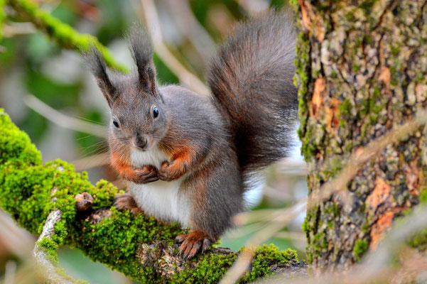 Foto - Eichhörnchen - schwarz - sitzt - auf dem Baum