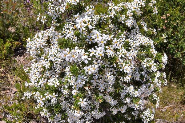 Australien, Australia, Westaustralia, Western Australia, Landschaft, Blume, Busch, Blüte, Weiss