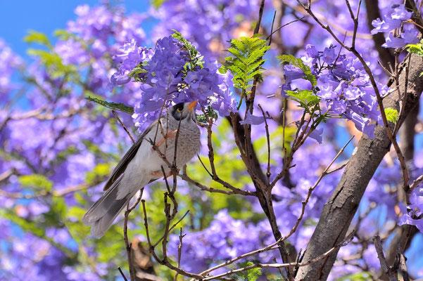 Australien, Australia, Südaustralien, South Australia, Landschaft, Baum, Lila, Blüte, Palisanderholzbaum, Jacaranda, Noisy Miner