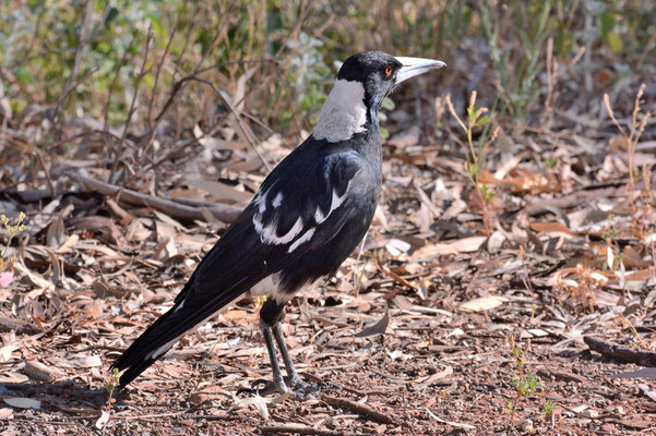 Australien, Australia, Südaustralien, South Australia, Landschaft, Vogel, Papagei, Australische Elster, Magpie