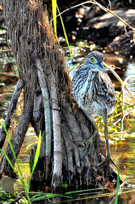 Australien, Australia, Nordaustralien, Northern Territory, Landschaft, See, Wasservogel, Kakadu Nationalpark, Yellow Water River Cruise