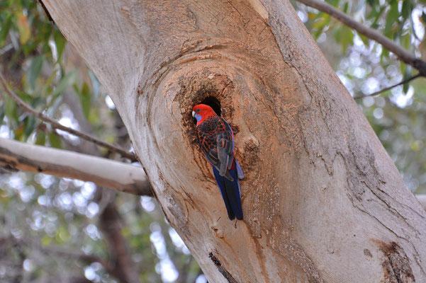 Australien, Australia, South Australia, Kangaroo Island, Landschaft, Vogel, Rot, Blau, Crimson Rosella Papagei