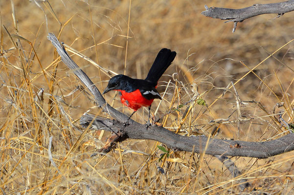 Namibia - Rundfahrt - Reise - Rundreise - Etosha National Park - Rotbauchwürger