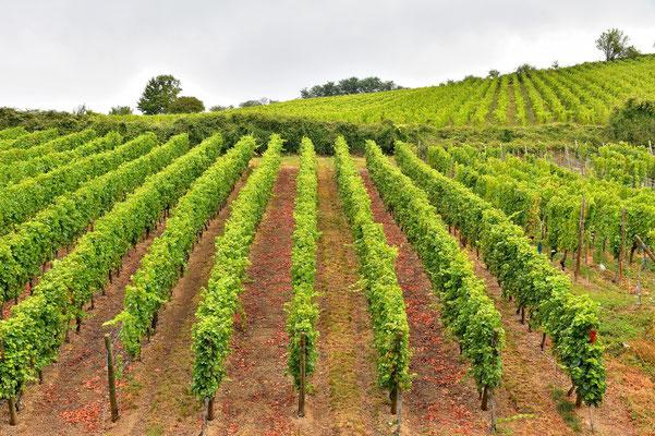 Frankreich, Elsass, Landschaft, Weinberg, Weinbau, Rebstöcke