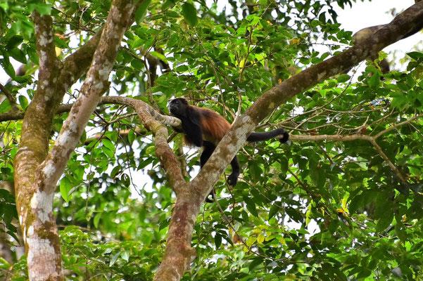 Pura Vida - Costa Rica - Fauna - Wald - Brüllaffe