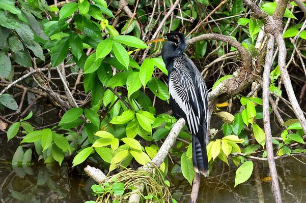 Pura Vida - Costa Rica - Fauna - Vogel