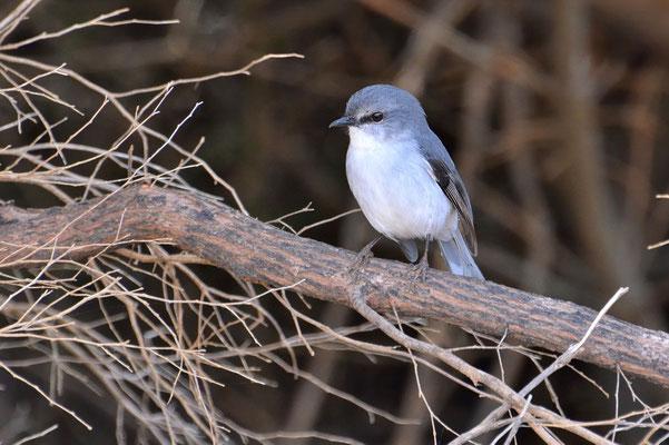 Australien, Australia, Westaustralia, Western Australia, Landschaft, Vogel, Klein, Weiss, Grau, Grey Shrike Thrush