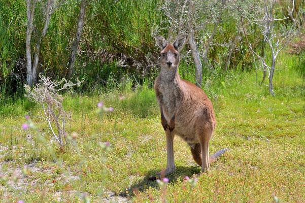 Australien, Australia, Westaustralia, Western Australia, Landschaft, Tier, Känguru