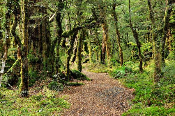 Neuseeland, Südinsel, Regenwald, The Casm