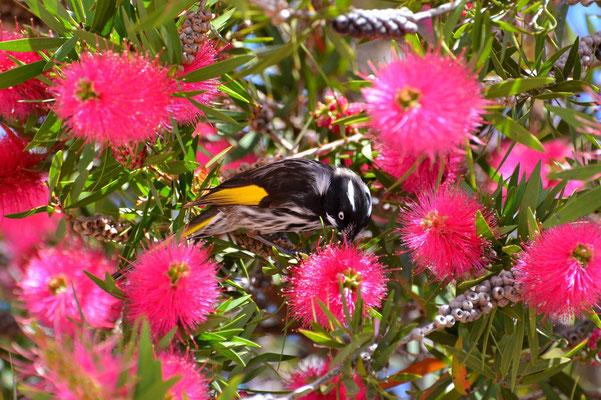 Australien, Australia, South Australia, Kangaroo Island, Landschaft, Banksia, Blüten, Vogel, New Holland Honeyeater