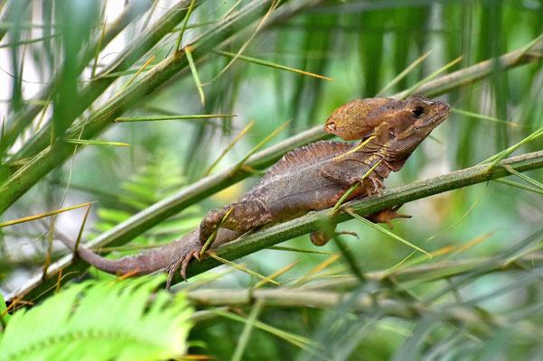 Pura Vida - Costa Rica - Fauna - Helmbasilisk - Leguan - Jesus Lizard