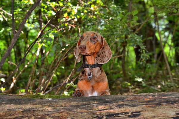 Tigerdackel, Tierfotografie, Hund, Outdoor, draußen
