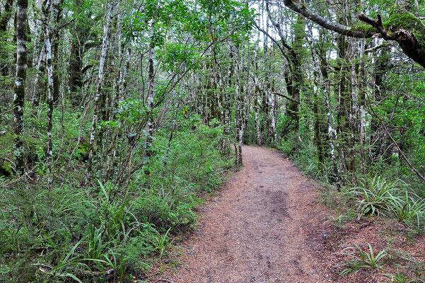 Neuseeland, Nordinsel, Wanderung, Wald