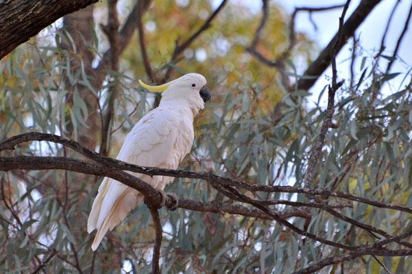 Australien, Australia, Südaustralien, South Australia, Landschaft, Vögel, Gelbhaubenkakadu,Sulphur Crested Cockatoo