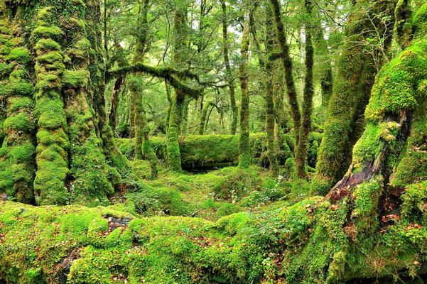 Neuseeland, Südinsel, Regenwald, Grün, Moos