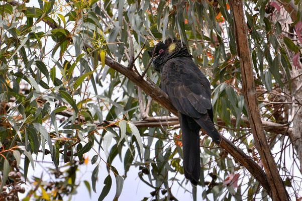 Australien, Australia, South Australia, Kangaroo Island, Landschaft, Vogel, Gelbohr Rabenkakadu, Calyptorhynchus
